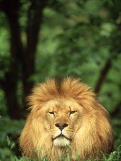 Lions Photos, Adam Jones, Lion Pictures, Big Cats, Find Art, Framed Artwork, Leo, Gallery, Dogs