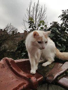 Turkish Van cat photographed in Anderlecht, Belgium - http://travelling-cats.blogspot.be/2013/03/cat-from-anderlecht-belgium.html