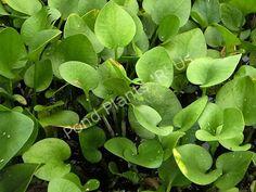 Frogbit Floating Pond Plant, good for container water gardens
