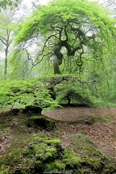 Faux de Verzy (25 mins from Reims, France). Forest includes twisted beech trees.
