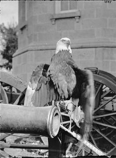 Old Abe, the American War Eagle, was the mascot of the 8th Wisconsin Regiment in the Civil War. Old Abe was in thirty-nine battles during the Civil War including Fredericktown, and the Siege of Vicksburg. Old Abe was not just a mascot, but became a patriotic symbol for the entire nation
