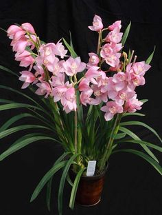 Our orchids are grown under shade cloth so they are already partially acclimated to outside growing conditions. Description from chisanorchid.com. I searched for this on bing.com/images