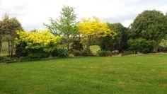 Golden flows in our garden tonight