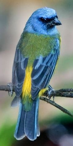 Blue and yellow tanager • photo: Douglas Janson on Pbase