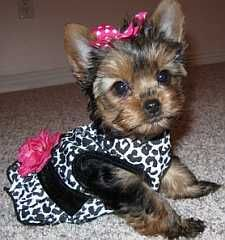 FREE dog clothes pattern for you to make a custom fit doggie dress.