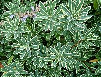 Compact shrubs for easy gardens  Daphne -- good in places with root competition -- under the maples?