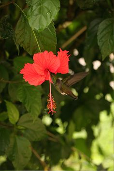 Hibiscus (and a little hummingbird) in Martinique