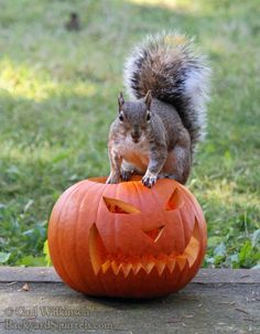 Squirrel on top of jack o lantern. Squirrel Pictures, Funny Animal Pictures, Funny Animals, Cute Animals, Secret Squirrel, Cute Squirrel, Autumn Animals, Little Critter, Tier Fotos