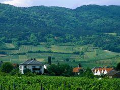 Vineyards & the Vienna Woods..spent many of days walking through the Vienna Woods