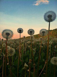 Sea of Dandelions - (explored) by BLACK EYED SUZY, via Flickr