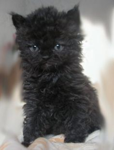 I just love the curly coat of a Selkirk cat. And this little kitten is adorable don't you think?