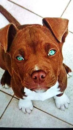 Cute pit bull I'm a pit bull lover #pitbull