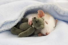 Ok, time for some rat picture research for inspiration of course. :)  Let's people see another side of rats that they might not know about otherwise which will help to convince them rats can be not only a viable pet, but they are also simply adorable.  Come on!! It's sleeping with a tiny teddy bear!!!!