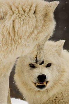 Alpha Wolf - A little Growl - by b. Beautiful Creatures, Animals Beautiful, Cute Animals, Wild Animals, Wolf Spirit, Spirit Animal, Wolf Pictures, Animal Pictures, Husky