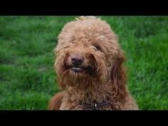 """We're pawsitive this ulti-mutt list of the punniest dog puns and dog play on words will bring a smile, a """"p'awwww,"""" or even a grrroan! Goldendoodle Names, Goldendoodle Grooming, Dog Grooming, Medium Goldendoodle, Cute Names For Dogs, Best Dog Names, Cute Dogs, Dog Birthday Quotes, Happy Birthday Dog"""