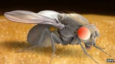 Male fruit flies that have been rejected by females drink significantly more alcohol than those that have mated freely, scientists say... so fascinating!