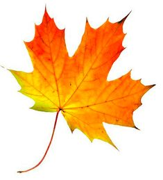 Leaves are beginning to turn. Baseball playoffs have begun. Christmas decor is on display at Lowe's.) It must be fall! Autumn Art, Autumn Leaves, Maple Leaves, Fall Leaves Images, Fall Leaves Tattoo, Painted Leaves, Painted Rocks, Botanical Art, Botanical Illustration