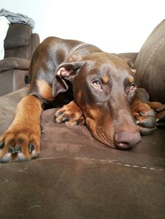 The Doberman Pinscher is among the most popular breed of dogs in the world. Known for its intelligence and loyalty, the Pinscher is both a police- favorite Doberman Puppy Red, Doberman Pinscher Puppy, Doberman Love, Big Dogs, Cute Dogs, Dogs And Puppies, Doggies, Corgi Puppies, Beautiful Dogs