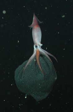 Carrying an egg mass of 2,000 to 3,000 eggs for six to nine months can make swimming difficult for Gonatus Onyx squid mothers. Underwater Creatures, Underwater Life, Ocean Creatures, Fauna Marina, Deep Sea, Deep Water, Deep Blue, Marine Biology, Kraken