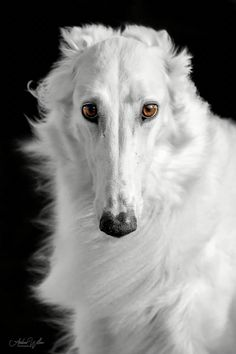 by Andrea Willers - Borzois have such soulful eyes