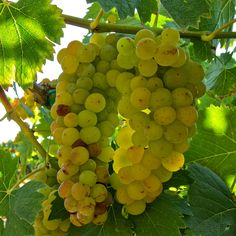 Muscat Orange:  Lewis Vineyard; Clements Hills AVA