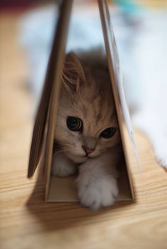 kitten in a book
