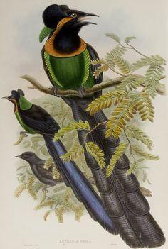 Gorget Paradise-bird. Astrapia nigra is endemic to the Arfak Mountains in Vogelkop Peninsula, West Papua.
