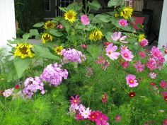 Sunflowers planted by the birds, Pink Cosmos reseed themselves and Phlox a happy perenial