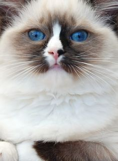 Seal High Mitted Bicolor