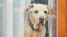 Buy Sad dog waiting alone at home by Chalabala on PhotoDune. Sad dog waiting alone at home. Labrador retriever looking through window during rain. Dog Separation Anxiety, Dog Anxiety, Anxiety Tips, Hurricane Safety, Reptiles Et Amphibiens, German Shorthaired Pointer, Wild Dogs, Pet Safe, Pets