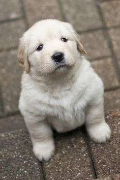 Golden Retriever Puppy, ya just want to pick her up and cuddles. Cute Baby Animals, Animals And Pets, Funny Animals, Wild Animals, Cute Puppies, Dogs And Puppies, Cute Dogs, Doggies, Awesome Dogs