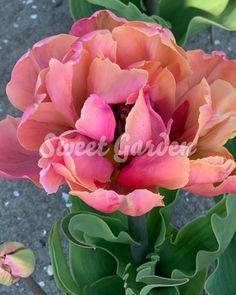 Lalele Pink Star   Sweet Garden Pink Stars, Sweet, Garden, Flowers, Plants, Candy, Garten, Lawn And Garden, Gardens