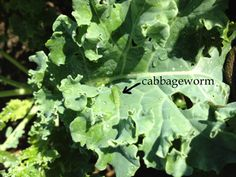 #Cabbage worms are extremely bothersome and can impact anything in your #garden. They're clearly known to target cabbage plants but just about anything in your garden could be targeted. There are many things that you can do in order to keep cabbage worms from being more of a burden then they have to be.