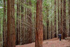 Bosque de secuoyas de Cabezón de la Sal  #Cantabria #Spain