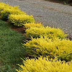 Coleonema pulchrum 'Sunset Gold' 4 on front arc, 3 on left side of dry river
