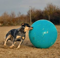 Australian Cattle Dog treibball. I wonder what my pup would do if we got her one of these?