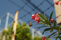 oleander - きょうちくとう