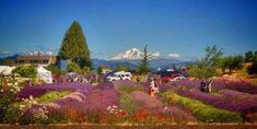 2015 Hood River Oregon Lavender Daze Festival