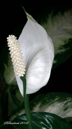"""/ Photo """" """"Peace Lily"""", Spathiphyllum 'Lynise' by Silvia Sandrock Flowers Nature, My Flower, White Flowers, Flower Power, Beautiful Flowers, Lilies Flowers, Unusual Flowers, Tulips, Love Garden"""