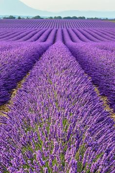 Learn how to grow lavender anywhere with these lavender growing tips and tricks. Growing lavender requires thoughtful planning, watering, maintenance and then harvesting. Growing Lavender, Lavender Flowers, Purple Flowers, Lavender Color, Flowers Garden, Exotic Flowers, Yellow Roses, Pink Roses, Beautiful World