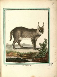 Animal - Cat - Caracal - Buffon's Quadrupeds
