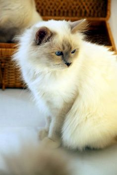 Sacré de Birmanie - #Blue Point  Best #Cats Ever ❤️