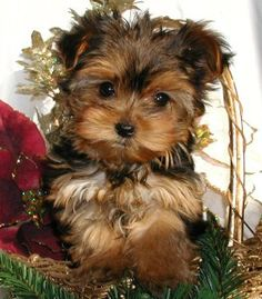 Yorkshire Terrier Customer Comments about our Yorkie Puppies for Sale