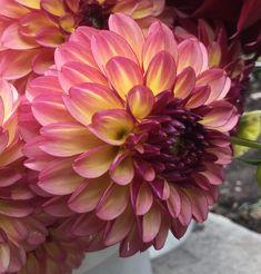 Purple Yellow, Dark Purple, Great Cuts, Cut Flowers, Dahlia Flowers, House Plants, Backyard, Landscape, Lady