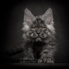 "Lost and begin pets[[caption id="""" align=""aligncenter"" Of 8 Different Colors Of A Maine Coon Cat! – Maine Coon Admirer Grey And Black Maine Gatos Maine Coon, Maine Coon Kittens, Cats And Kittens, I Love Cats, Crazy Cats, Cool Cats, Beautiful Cats, Animals Beautiful, Cute Animals"