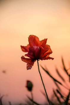Poppy at sunset | by