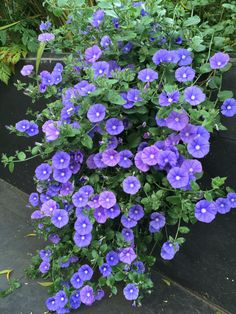 cascading perennials - Convolvulus sabatius, The Watch House, June 2015 Garden Shrubs, Garden Plants, Outdoor Plants, Outdoor Gardens, Trailing Flowers, Garden Catalogs, Candy Flowers, Ground Cover Plants, Purple Flowers