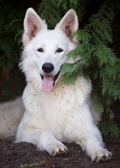 Border Collie, Collie Dog, German Sheperd Dogs, Shepherd Dog, West Highland Terrier, Cute Dogs Breeds, Dog Breeds, Scottish Terrier, Beautiful Dogs