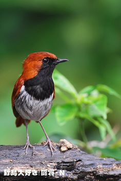 Ryukyu robin (Erithacus komadori ) アカヒゲ 天然記念物