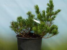 PINUS BAlkon - DE Kiefer, Plants, Timber Wood, Plant, Planets